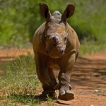 American stars under an African sky, dancing for rhino orphans